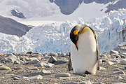 Preening king penguin in Gold Bay Harbor, South Georgia with the Bertrab Glacier in the background.