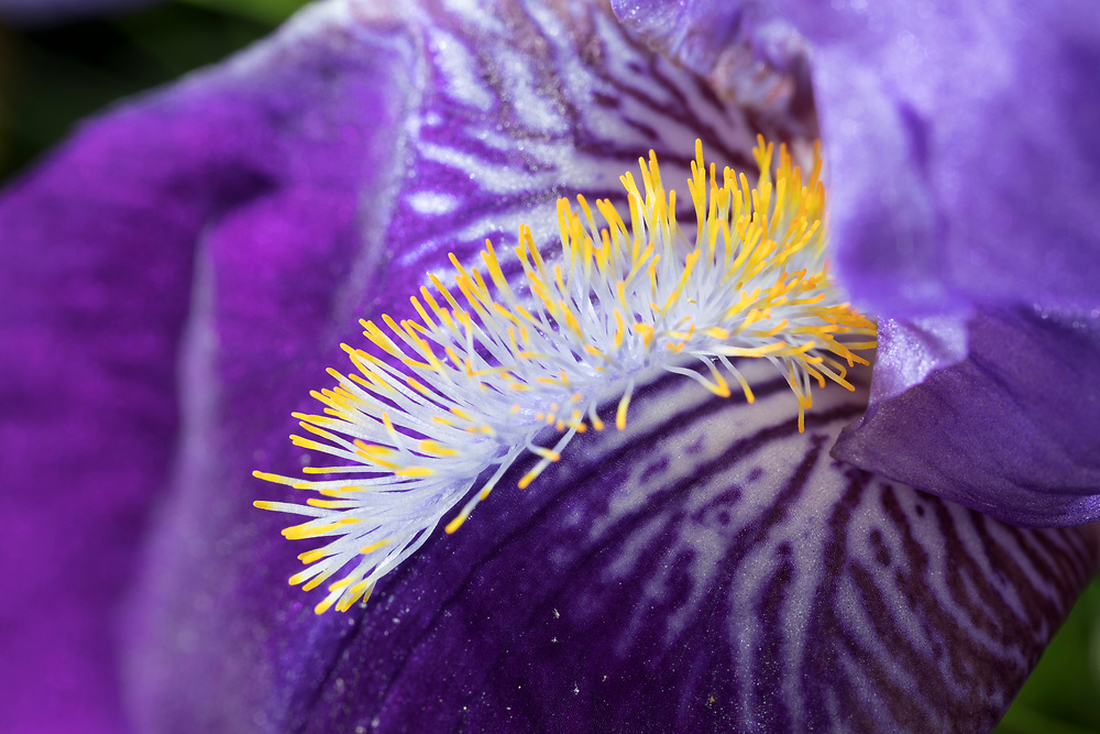 """The yellow """"beard"""" of a Bearded Iris provides a colorful contrast with the purple and blue petals"""