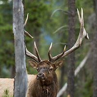 bull elk in lodge pole forest
