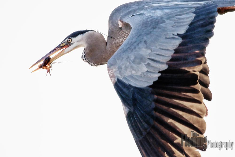 Great blue heron with crawfish, Ellis Creek Water Recycling Facility, Petaluma, CA