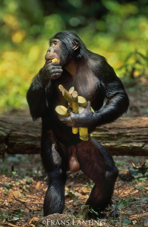 Bonobo male gathering sugar cane, Pan paniscus, Wamba, Democratic Republic of Congo