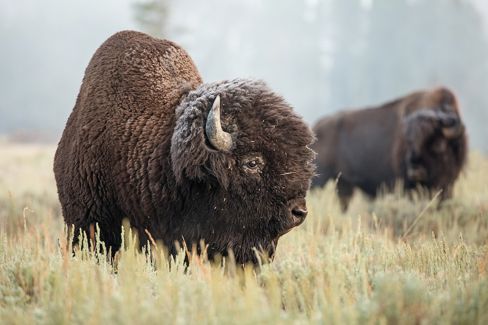 With early morning temperatures below freezing even in August, Hayden Valley's ever-present fog will sometimes freeze.  In this case, the fog froze on the bull bison's fur, making him and the rest of the herd look like they were sprinkled with powdered sugar.