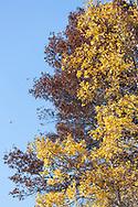 Autumn Oak and Aspen shedding leaves