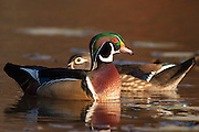 Wood Duck, Aix sponsa, male & female, Lake County, Ohio