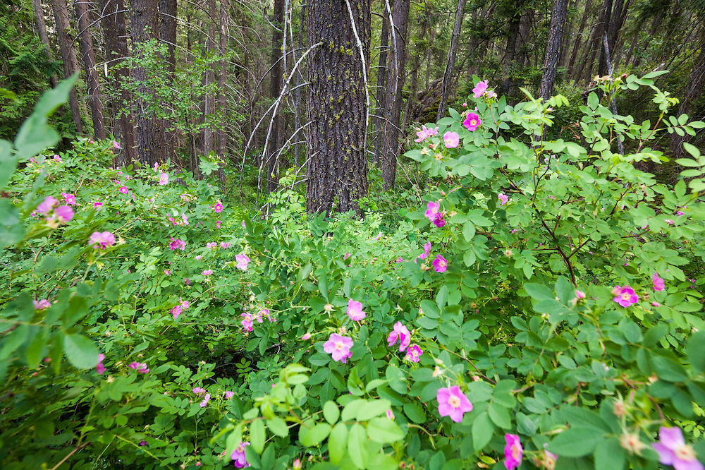 Flowering wild rose (Rosa sp.) fill the forest understory along Monument Creek Trail, Okanogan National Forest, Washington.