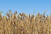 Heads of golden wheat before harvesting on a farm  in rural Mingay, Victoria. <br /> <br /> Editions:- Open Edition Print / Stock Image