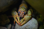 Ozark Crayfish<br />