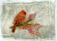 Cardinal sitting on a branch with ice covered berries on winter themed background