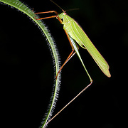 The family Tettigoniidae, known in American English as katydids and in British English as bush-crickets. It is part of the suborder Ensifera and the only family in the superfamily Tettigonioidea. They are also known as long-horned grasshoppers.