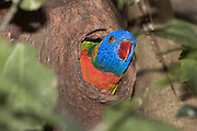 Most parrots including the rainbow lorikeet, breed in tree cavities, often in dead trees or branches, and often high off the ground.  Nests are lined with bark, leaves, and feathers, and keep eggs and chicks safe from terrestrial predators.