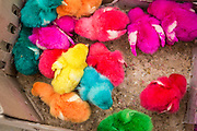 24 OCTOBER 2012 - PATTANI, PATTANI, THAILAND:  Colored chicks for sale in a market in Pattani, Thailand. The chicks are colored by injecting their eggs with a dye. More than 5,000 people have been killed and over 9,000 hurt in more than 11,000 incidents, or about 3.5 a day, in Thailand's three southernmost provinces and four districts of Songkhla since the insurgent violence erupted in January 2004, according to Deep South Watch, an independent research organization that monitors violence in Thailand's deep south region that borders Malaysia. Muslim extremists are battling the Thai government and its symbols, like schools and Buddhist facilities.    PHOTO BY JACK KURTZ