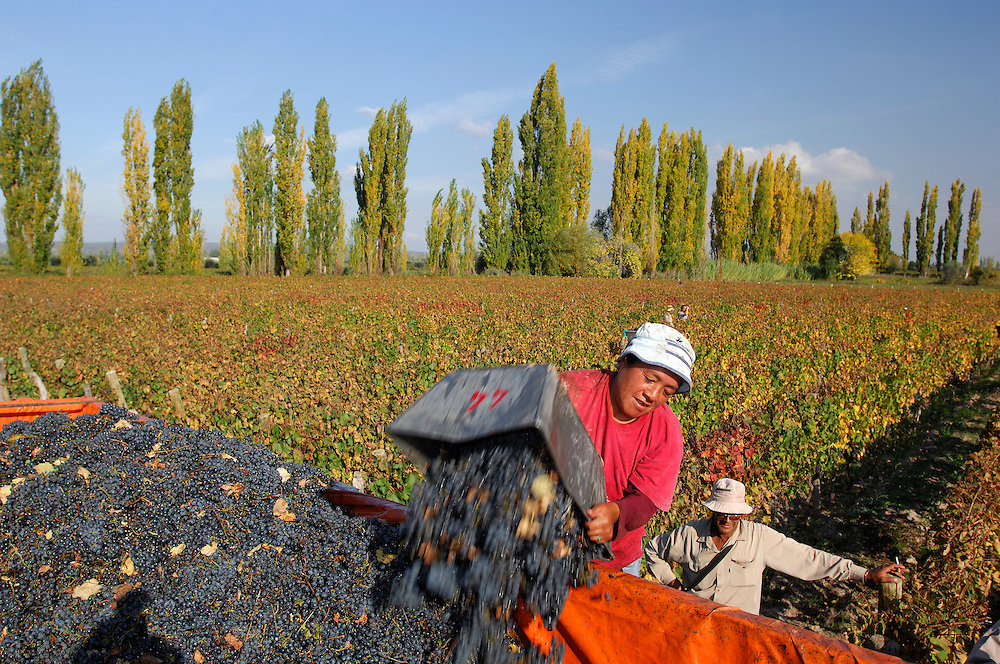Grape Harvest, Vineyard, Lujan de Cuyo, Mendoza, Argentina, South America