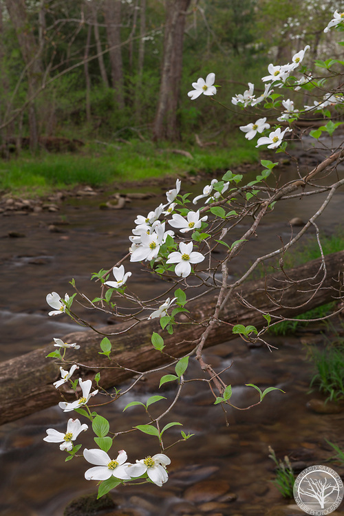 A dogwood blossoms along the creek at Sparks Lane, in Cades Cove, part of Great Smoky Mountain National Park.
