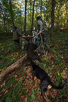 Romanian hunters pulling a shot Wild boar (Sus scrofa) sow uphill in the forest area outside the village of Mehadia, Caras Severin, Romania.