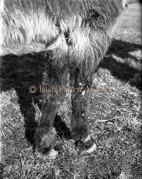 07/03/1958<br /> 03/07/1958<br /> 07 March 1958<br /> <br /> Nine donkeys for Blue Cross. Several pictures of cuts and general evidence of ill treatment.