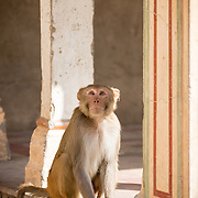 Monkey at Galta Hindu temple at Jaipur