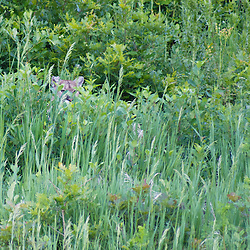 A Colorado mountain lion, or cougar, hides in the tall grass.