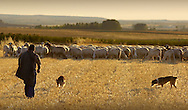 A shepherd and his sheepdogs guard their flock of sheep in the Spanish village of Morales del Vino, Zamora province, on July 22, 2001. Photo Rafa RIVAS
