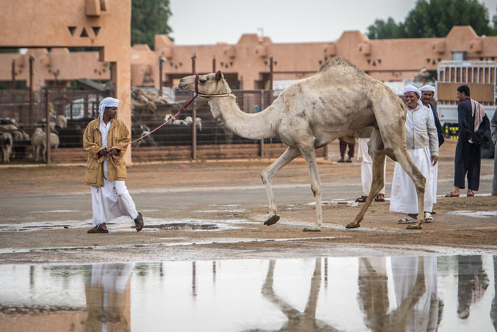 Farmer walks a camel across the grounds of the Al Ain Camel Market in Abu Dhabi, UAE.