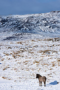 Single Icelandic pony in glacial landscape of South Iceland with Uthlioarhraun mountains behind
