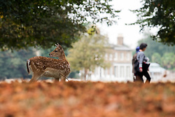 © Licensed to London News Pictures. 19/09/2016. London, UK. A Fallow Deer forages in the Autumn Leaves. Deer in the first leaves of Autumn, today, 19th September 2016, in Bushy Park, Surrey. Photo credit : Stephen Simpson/LNP