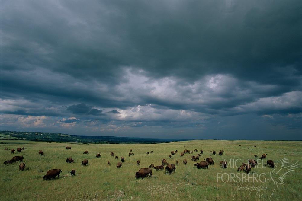 Bison, Niobrara Valley Preserve, Nebraska.