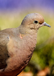 A close-up shot laying on the grass to snap a shot of this dove from a low angle