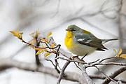 Northern Parula, Setophagaamericana, female, Tawas Point, Michigan