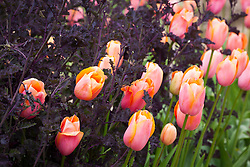 Tulipa 'Menton' with Kale 'Red Bor' in the vegetable garden