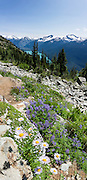 From the High Note Trail on Whistler Mountain, admire flowers of lupine and aster, turquoise Cheakamus Lake, and glacier-clad peaks in Garibaldi Provincial Park, in the Coast Range, British Columbia, Canada. The aster, daisy, or sunflower family (Asteraceae or Compositae) is the largest family of vascular plants. This panorama was stitched from 6 overlapping photos.