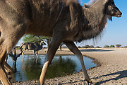 A greater kudu, Tragelaphus strepsiceros, walking in front of a remote camera