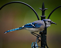 Blue Jayl. Image taken with a Nikon D850 camera and 600 mm f/4 VR telephoto lens (ISO 4000, 600 mm, f/5.6, 1/640 sec).