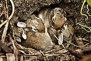 Newborn rabbits cuddle in hole.
