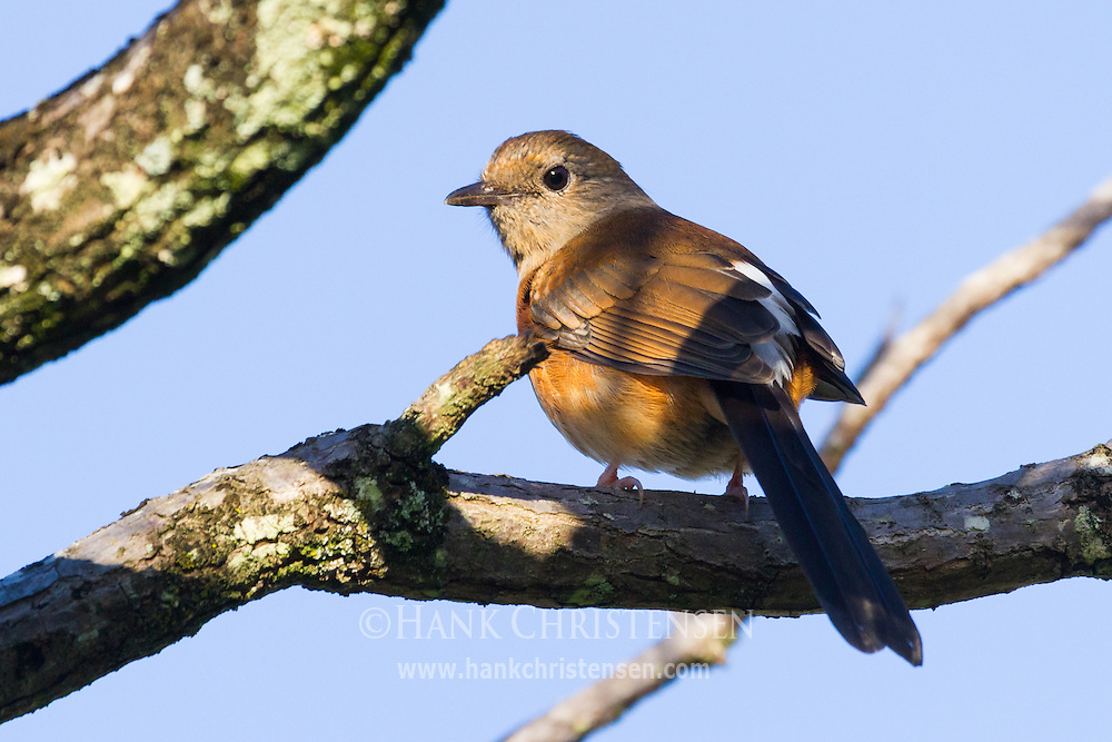 A juvenile white-rumped shama perches on the branch of a tree