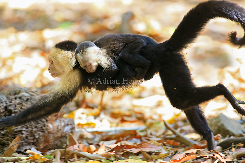 Female white-faced capuchin monkey (cebus capucinus) running and carrying baby on back. Palo Verde National Park, Guanacaste, Costa Rica.