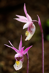 Calypso (or Fairy Slipper) orchid (Calypso bulbosa var. americana) in alpine forest near stream, Vermejo Park Ranch, New Mexico, USA.