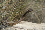 Coachwhip (Masticophis flagellum)<br /> Little St Simon's Island, Barrier Islands, Georgia<br /> USA<br /> HABITAT & RANGE: Open habitats with sandy soils of southern USA