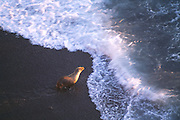350606-1001B ~ Copyright:  George H. H. Huey ~  California sea lion heading into surf at sunset on Santa Barbara Island.  Channel Islands National Park, California.