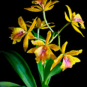 A brightly colored yellow cattleya hybrid orchid from Thailand.