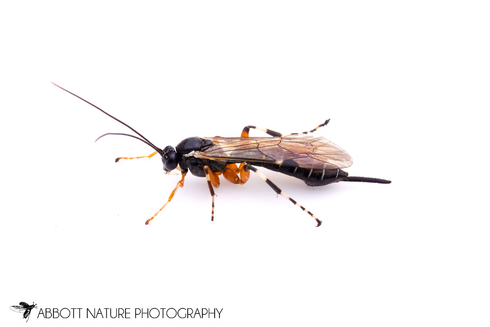 Ichneumon Wasp (Phytodietus sp.) - female<br /> TEXAS: Bastrop Co.<br /> Property off Hwy 95; Elgin, 5 mi S<br /> 30.26577&deg; -97.33804&deg;  4-Nov-2012<br /> J.C. Abbott #2629 &amp; K.K. Abbott