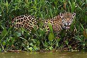 Portrait of a jaguar, Panthera onca, Cuiaba River, Pantanal, Mato Grosso, Brazil.