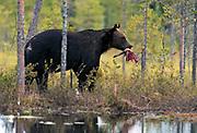 Big male brown bear (Ursus arctos) with captured bait. Eastern Finland in August 2015.