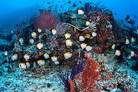 Pyramid Butterflyfish School..Shot in Indonesia..