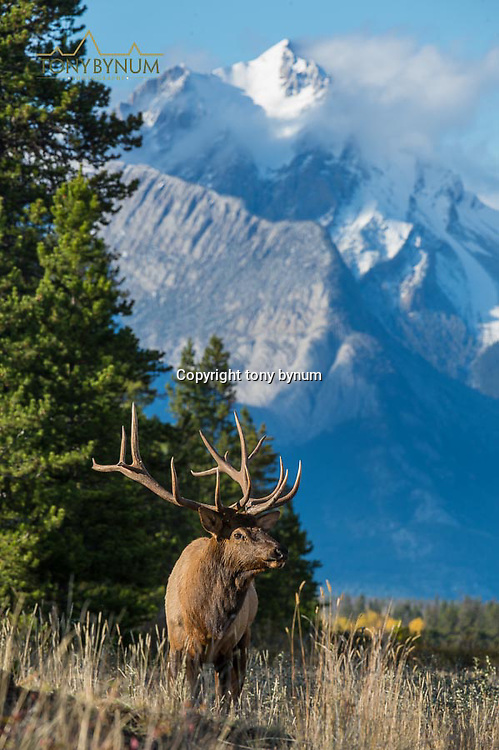 bull elk standing in front of a huge mountain backdrop