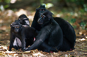 The young black apes are often gathering in small groups. | Die jüngeren Schopfmakaken ziehen oft in kleinen Gruppen durch den Wald.