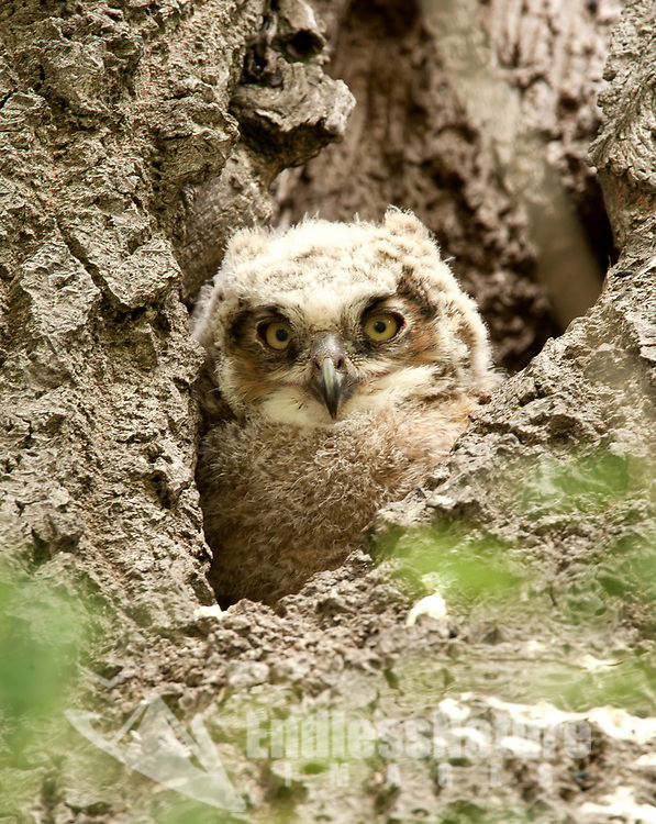 A Great Horned Owlet nests in a hollow cavity that is in an old cottonwood tree.