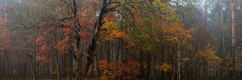 A little splash of Autumn colour from Thetford Forest, there are still plenty of leaves hanging on in there, despite the drop in temperature