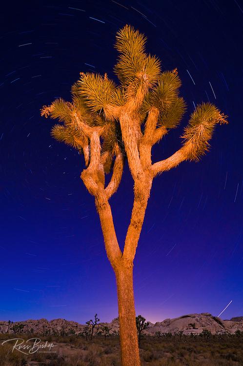 Joshua tree and star trails at night, Joshua Tree National Park, California USA