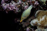 Oxymonacanthus longirostris (Longnose Filefish)