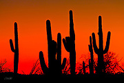 A row of Saguaro cactus (Carnegiea gigantea) stand in silent silhouette as the sun sets in the Arizona desert.  The Saguaro cactus can grow 50-feet-tall, is composed of 85% water, and can weigh over 8 tons.  They are the largest member of the cactus family in the United States. Their skin is smooth and waxy with stout, 2-inch spines clustered on their ribs. The outer pulp can expand like an accordion when water is absorbed, increasing the diameter of the stem and raising its weight by up to a ton.  <br /> <br /> The Saguaro generally takes 47 to 67 years to attain a height of 6 feet, and can live for 150 &ndash; 200 years.  During that lifetime, a single cactus will produce 40 million seeds; however, in its harsh native environment, only one of these seeds will survive to replace the parent plant.  Indeed, young Saguaro&rsquo;s must start life under a tree or shrub to prevent them from desiccating.